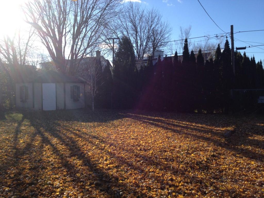 Notre bouleau fraichement planté à l'automne